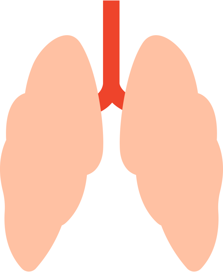 human lungs Clipart illustration in PNG, SVG